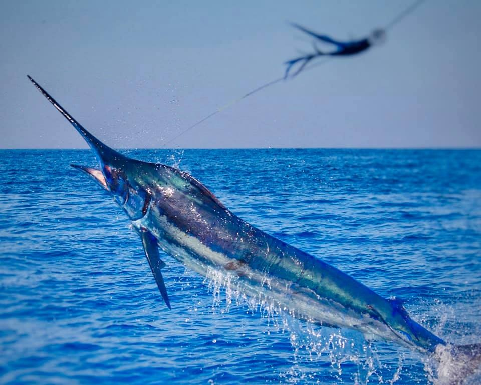 Guatemala - Decisive released a Blue Marlin on Fly.