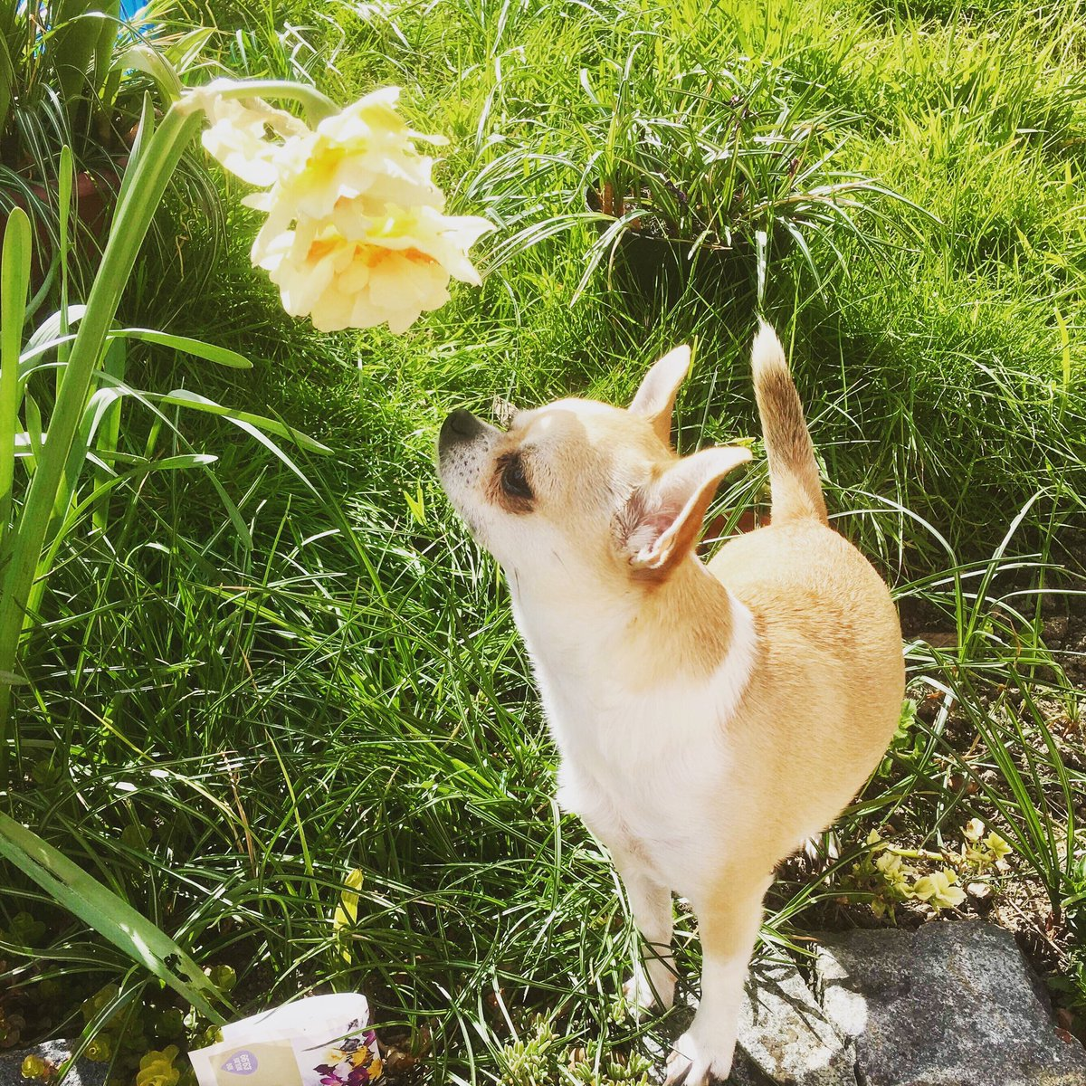Happy #nationalloveyourpetday - this is my beautiful furbaby Jesse #chihuahuasofinsta #chihuahua #chihuahuasofinstagram #furbaby #girlsbestfriend#chihuahuas #lovemychihuahua #happiness #dogsarelifepic.twitter.com/Ujj7lTbGTe