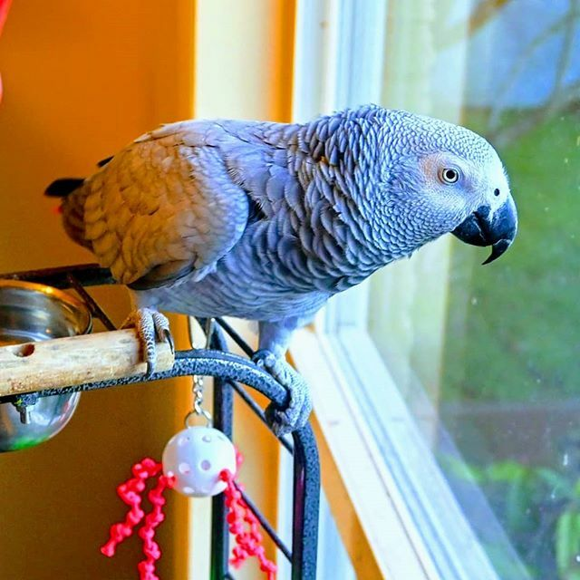 Keeping an eye on those squirrels outside... #africangrayparrot #africangray #parrots #birds #engagednotcaged #parrotamazing #parrotlover #parrotsofinstagram #nikonz50 https://ift.tt/3bVBIl5 pic.twitter.com/ZWJOcE8JTG