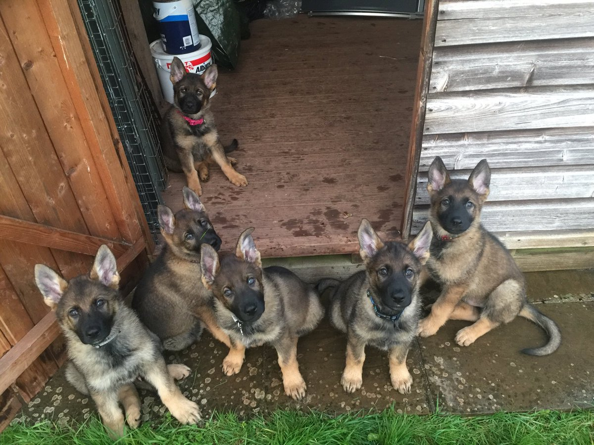 Sasha May be retired from our breeding program but 3 of her sons from her E litter are now operational Police dogs. Full story in today's blog.