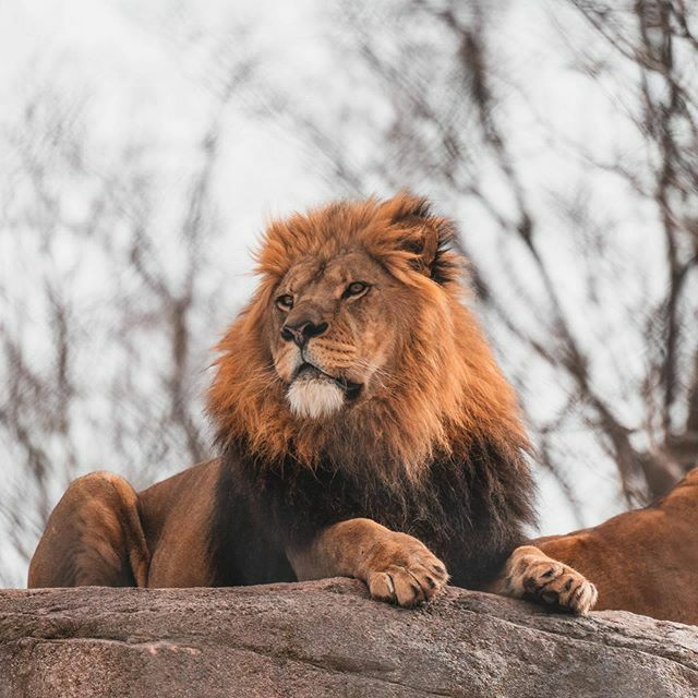 Chester, the king of @senecaparkzoo.  #nationalgeographic #awesome_earthpix #zoo #animals #nature #wildlife #wildlifephotography #naturephotography #animalphotography #zoophotography #birds #bird #picoftheday #instagram #tiger #africa #wild #cats #beauti… https://ift.tt/3bWRQT4 pic.twitter.com/e69tjh9Tlc