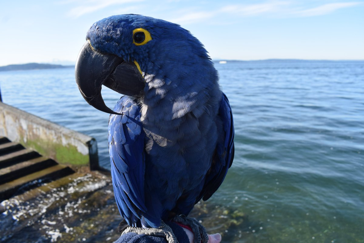 Sparkling spring-like day today with our Hyacinth Macaw #Parrot Princess Tara on the promenade at #Seattle's Alki Beach: https://www.instagram.com/p/B8z3lSylqyH/ #ParrotsOfInstagram #HyacinthsOfInstagrampic.twitter.com/H4mWZ9hchB