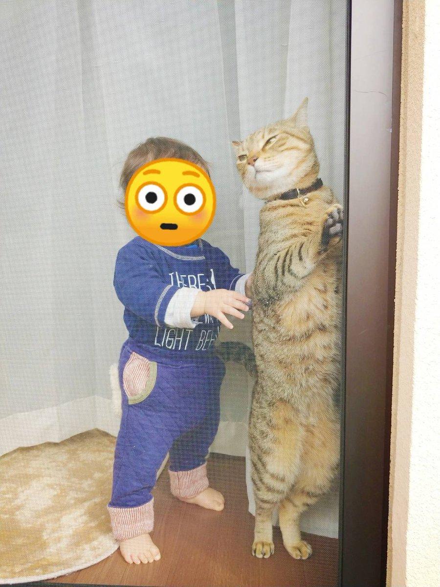 674日目。キジトラの方が背が高く小顔。窓の外を見るキジトラに慎重に近づく1歳児。触ると逃げるのがわかっているのかやや我慢していたようだが、結局こっそり触れて、ばれて、キジトラはフン!と去った。その後今日は珍しく一緒に昼寝をしていたキジトラであった。黒猫は見守って(??)いた。