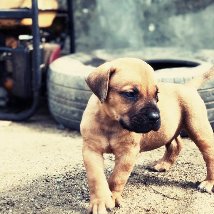 The  mastiff Boerboel, is a large, Molosser-type breed from South Africa and are bred for the purpose of guarding the homestead. These dogs were bred as working farm dogs and are one of the most powerful dog breeds in the world .#puppiesforsalepic.twitter.com/30QWC9UrSY