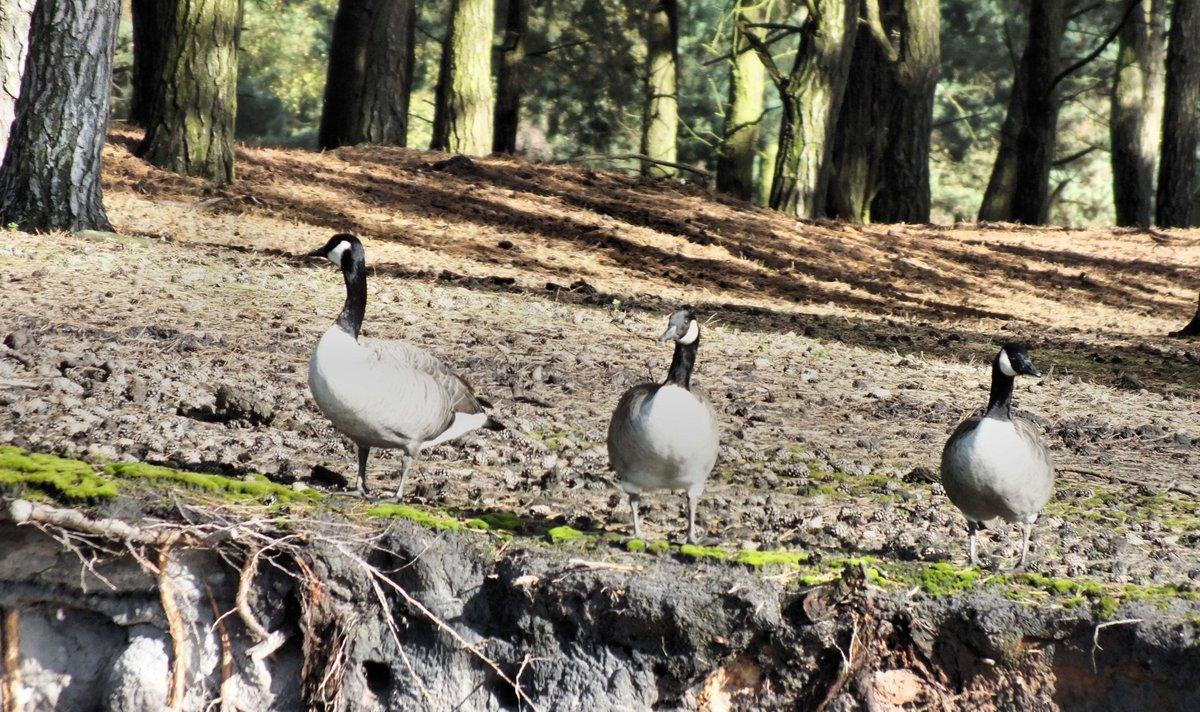 Op dag 21/29 van #februarivogelmaand ga ik voor de exoten onder de ganzen, die zich steeds meer vestigen in ons land.  1 Grote Canadese Gans (jaarvogel) 2 Indische gans (jaarvogel) 3 Nijlgans (jaarvogel) 4 Roodhalsgans (wintergast) pic.twitter.com/2xkIv9kQPt