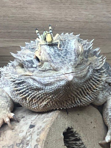 Tuesday, we spoke to Danni who is the owner of Daisy the Bearded Dragon pic.twitter.com/5WFTBRVgta