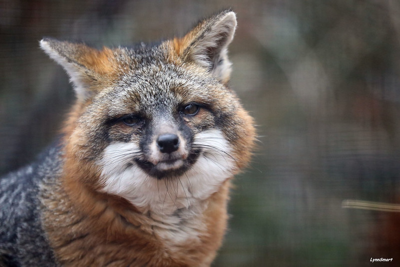 Nutmeg smiling because she knows the grey fox is the only member of the dog family that can climb trees.  #FridayFeeling <br>http://pic.twitter.com/QK7Y0MHm5K