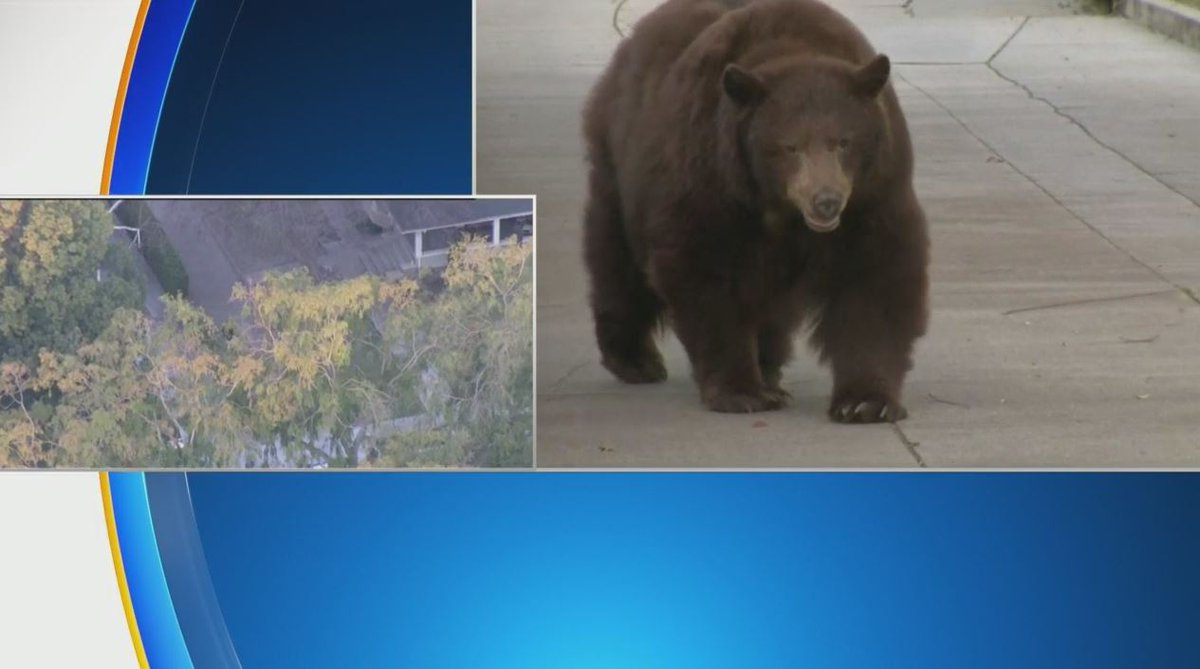 Replying to @CBSLA: WATCH: A large bear continues to meander through a Monrovia neighborhood.