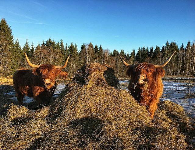 #highlandcattle #highlandcow #cow #cows #cattle #farmlife #牛 #finland #farm #cute