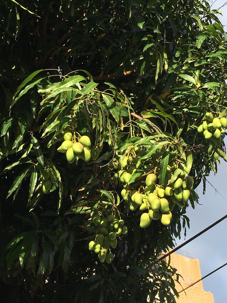 #mango season in #Hawaii is usually in the summer. Was this tree tricked by the unseasonably warm weather?