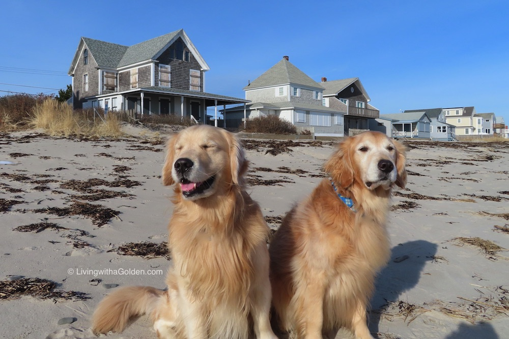 Q: Why did the dog insist on going to the beach in the winter? A: Because he needed Vitamin Sea!  #BadJokeFriday #GoofyGolden #FriYay <br>http://pic.twitter.com/K87bNBDxna