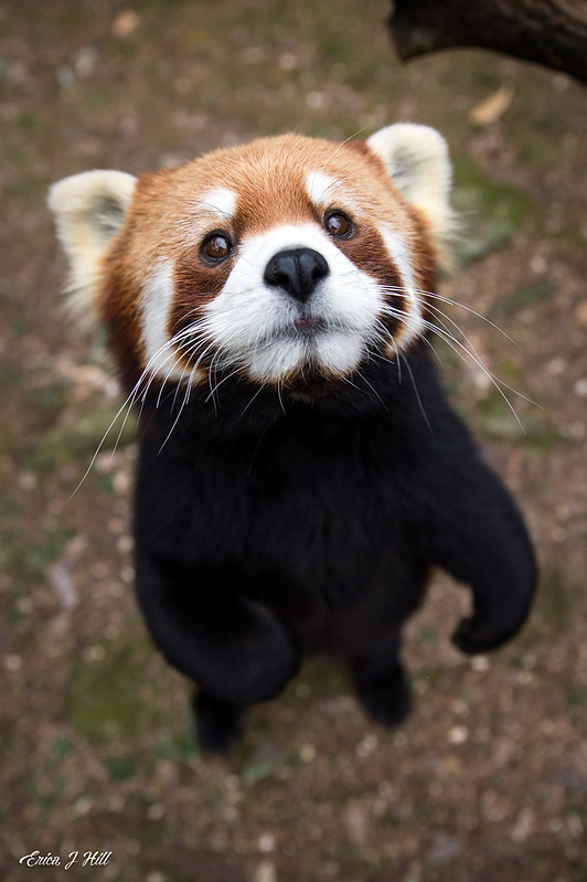 The sweetest face! Red pandas spend up to 13 hours a day foraging for bamboo, eating only the youngest, most tender leaves. #FridayFeeling <br>http://pic.twitter.com/CKJgJpdYOZ