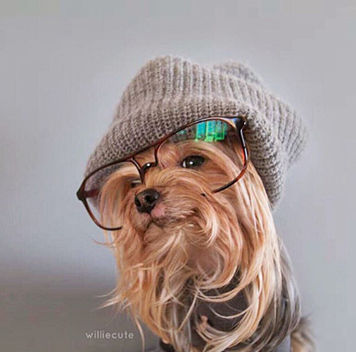 #FurryFriday:  #Stylish #Glasses #Dog #Dogs #DogsInCostumes #YorkshireTerrier #Yorkie - Photo by williecute