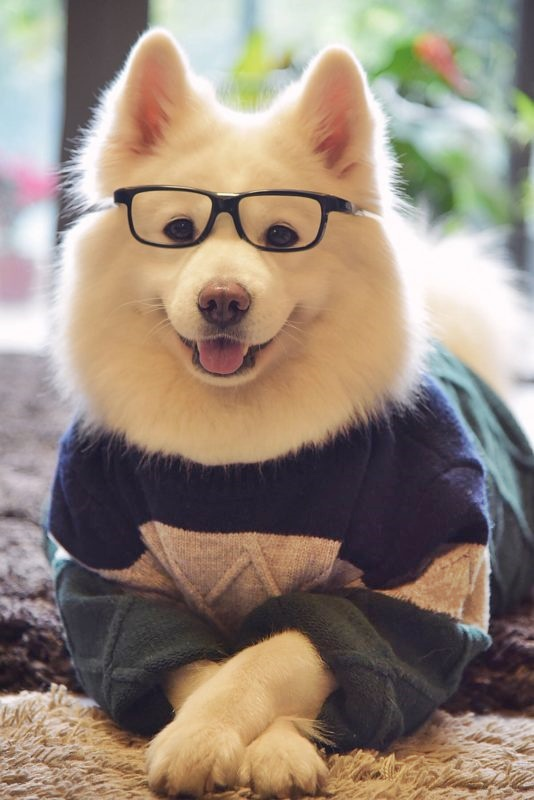 #FurryFriday:  #Stylish #Glasses #Dog #Dogs #DogsInCostumes #Samoyed