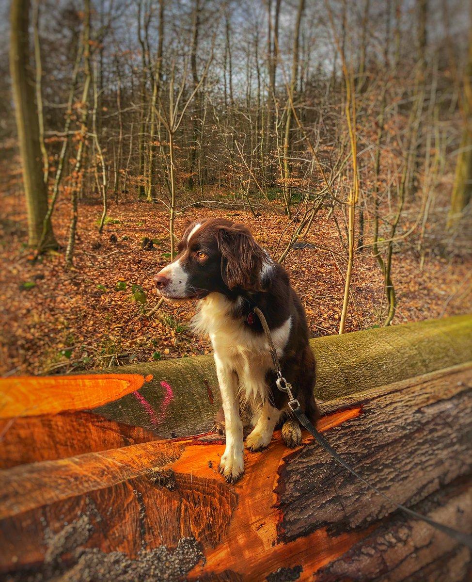 Toller Schnappschuss von unserem Waldspaziergang heute: Unser #Fiete hat den #Frühling fest im Blick. #hunderunde #wetter #waleiderpic.twitter.com/V4s9QsFaiU