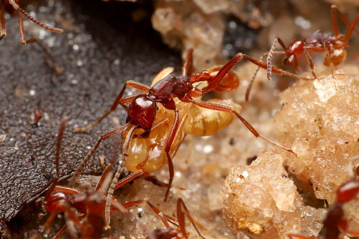 南米フレンチギアナで、夜に見つけたヒメグンタイアリの狩りの行列と、過去にヒメグンタイアリの行列から見つけた脚の長い好蟻性エンマムシ。エンマムシの仲間は脚が短いのですが、長い年月をかけてアリと一緒に歩き続けていたら脚が長く進化したのですね。