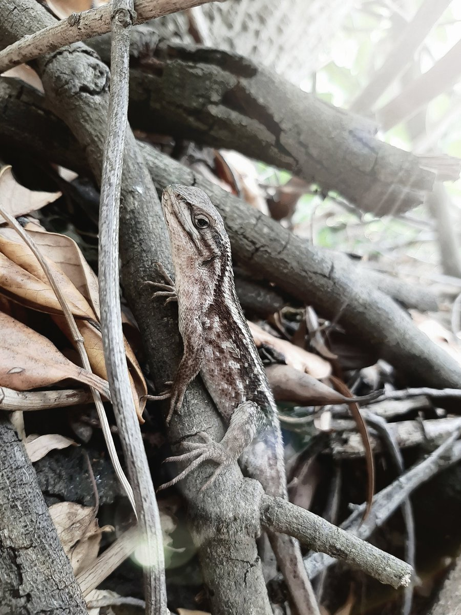 La lagartija 📷 Es quien se ocupa de acabar con las plagas que acechan las cosechas del mundo: caracoles, langostas, y todo tipo de insecto presente en los cultivos. Tomada con canon t6 lente 18-55 , ayúdenme con un RT o MG 🙏  #Chile #canonphotography #photooftheday