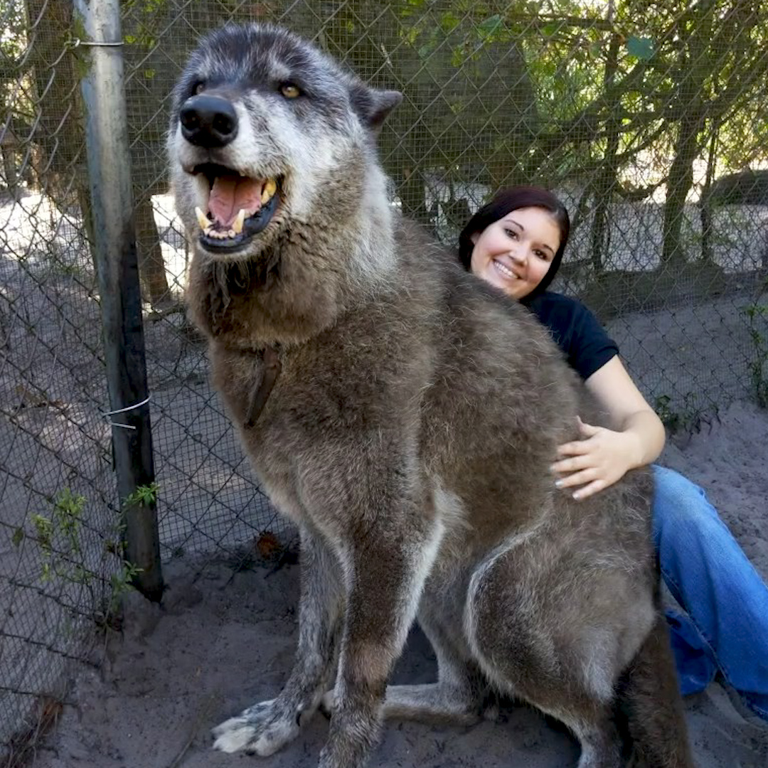 The way this wolf dog smiles at his favorite person 😍