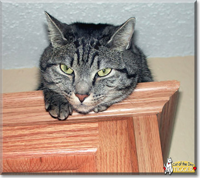 Friday's  Cat of the Day is #cute Tigger, a #rescue #grey #Tabby #kitty #love - read his tale at  http://catoftheday.com/archive/2020//February/21.html…     #catoftheday #cats #catsofinstagram #cat #CatsOfTwitter