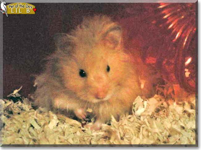 Friday's Pet of the Day is #cute Lil B, a #Syrian #Hamster #love - read his tale at http://petoftheday.com/archive/2020/February/21.html… #petoftheday #pets #petsofinstagram #pet #PetsOfTwitter #pocketpet
