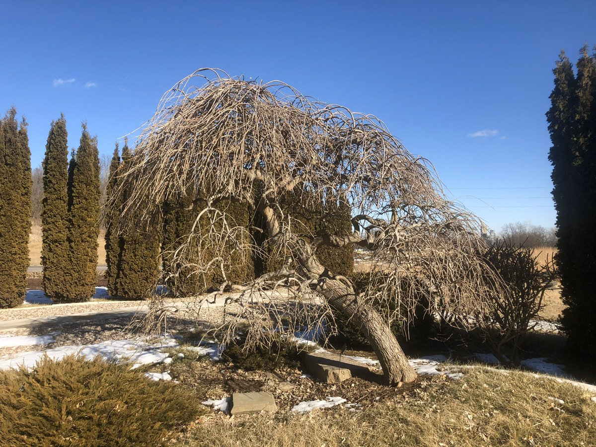 Winter is a great time to take note of the incredible forms of trees and shrubs, like this weeping mulberry in the Japanese park. Its somewhat gnarled branches and pendulous growth habit make it standout in the landscape. #beautyinallseasons #winterlandscape pic.twitter.com/rACqXsHUue