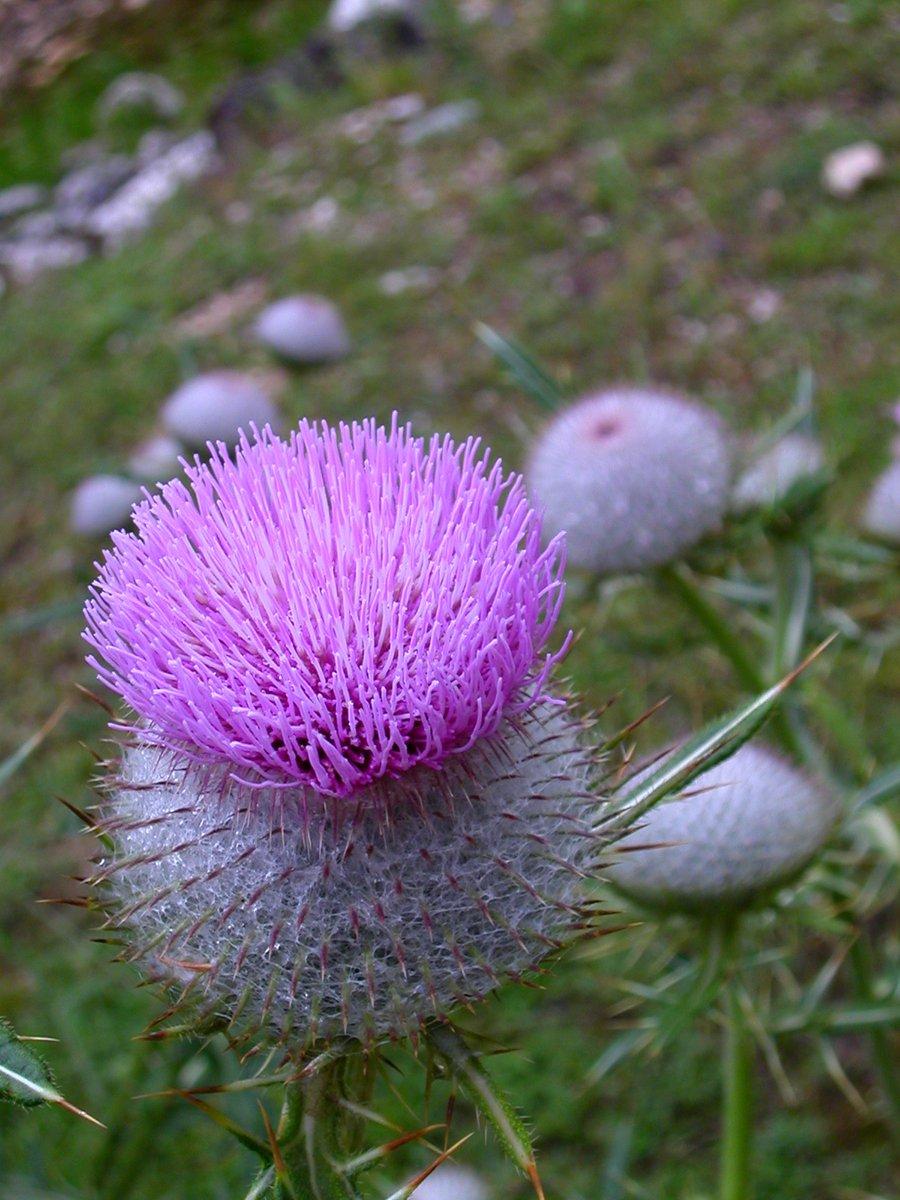 おはようございます♪モンテネグロの世界遺産「ドゥルミトル国立公園」で撮った野花です(^^)佳い一日を!#モンテネグロ #国立公園 #自然 #おはよう #おはようございます #お花 #ナチュラル #綺麗 #早朝 #美しい #flower #野花 #花 #東欧 #mountain #ドゥルミトル