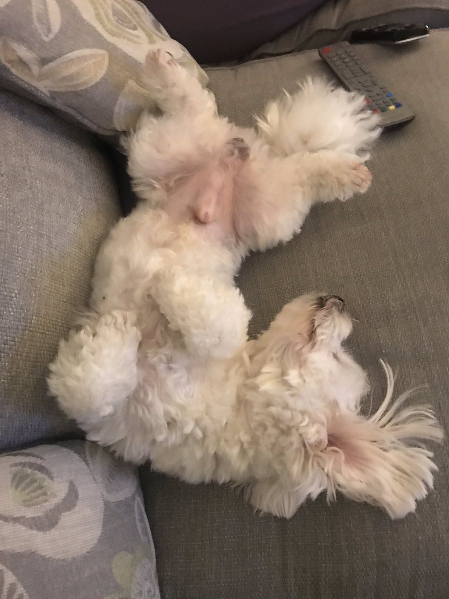Look at my little buddy Bailey. Doesn't give a fuck. Balls out, ears back and K.O.'d! This is life goals. Pure chilled with the aul nut crackers on display zero fucks given #dogslife pic.twitter.com/q4qvs1n3sm