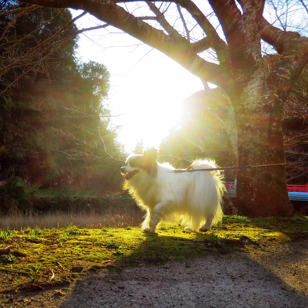 夕日が照らす公園① (代わり映えしないw) - #犬 #パピヨン #dog #doggy #papillondog #animals #犬好き