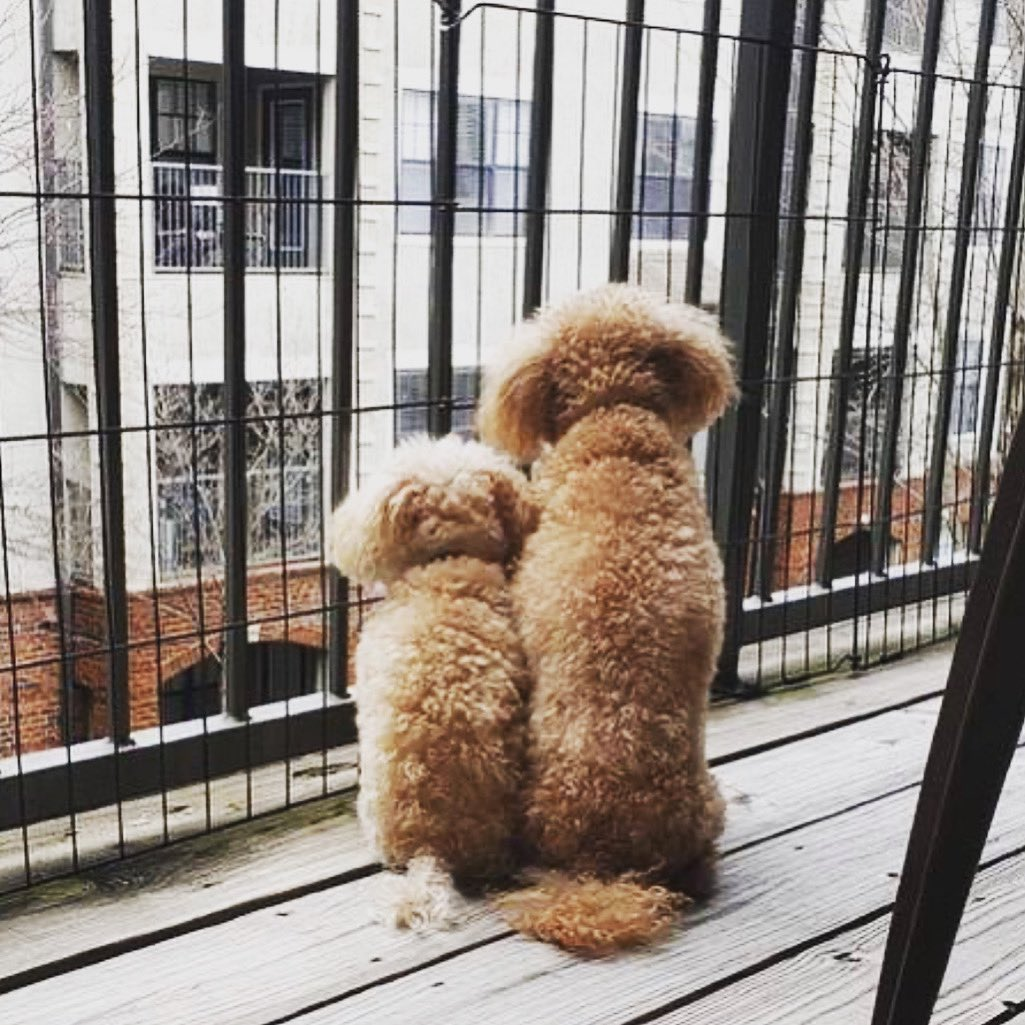 A #flashback of the babies people watching  when we were in the #atl.  #baronandcontessa #ilovemydogs #poodleofficial #poodles #poodlegram #redpoodle #toypoodle #creampoodle #teacuppoodle #pets #dogsofinstagram #dogslife #dogs #petsofinstagram #poodlesofinstagram #poodlestagrampic.twitter.com/vdrwvLfny8