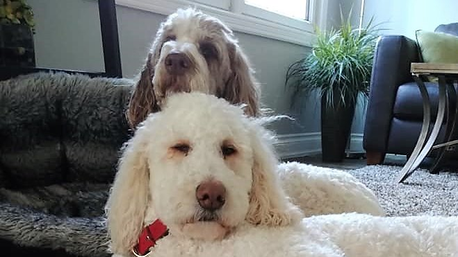 Who's up for a 'Doodle Sandwich?' #FridayVibes  #DogsofTwittter <br>http://pic.twitter.com/nW6K6VI88w