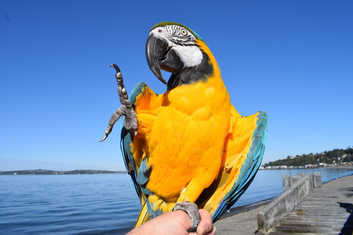 High Four for #FeatheredFriday from our Blue and Gold Macaw #Parrot Aboo posing on the sea wall at #Seattle's Alki Beach: https://www.instagram.com/p/B812Hd2FWNj/ #ParrotsOfInstagram #FeetsFridaypic.twitter.com/CwRFYueRo1