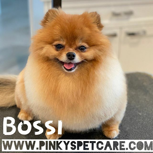 Awesome little #pomeranian named Bossi Great grooming day with Jillian from Pinky's Grooming / #delray #boca #pomeranianlove #bestdoggie https://ift.tt/3bSlWY9 pic.twitter.com/abPrChUOCY