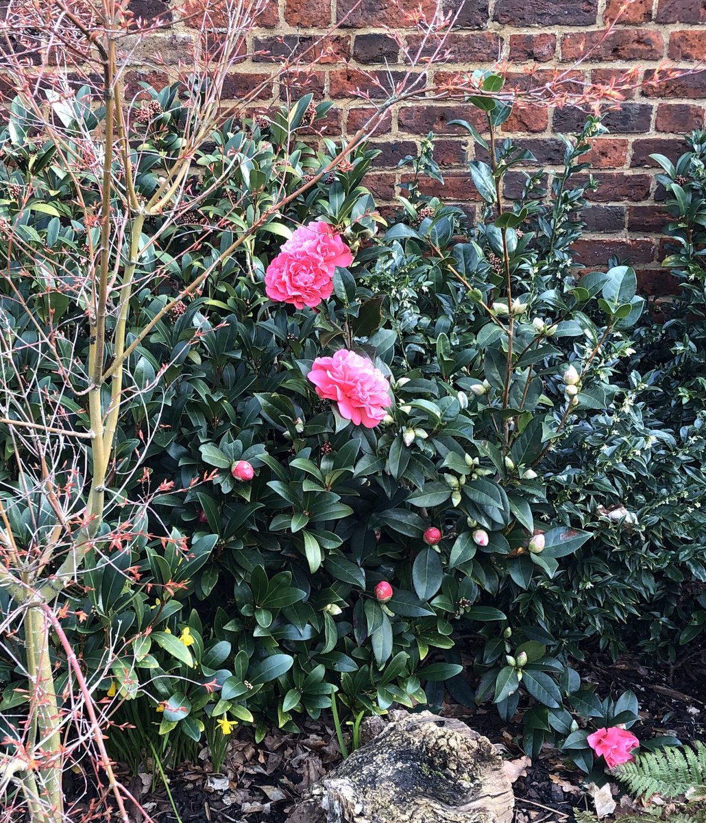 #Camellias are just coming out! Click and https://valentines.org.uk/history/the-development-of-the-gardens-park/… scroll down to section 4 for the #history of the camellia @ValMansion