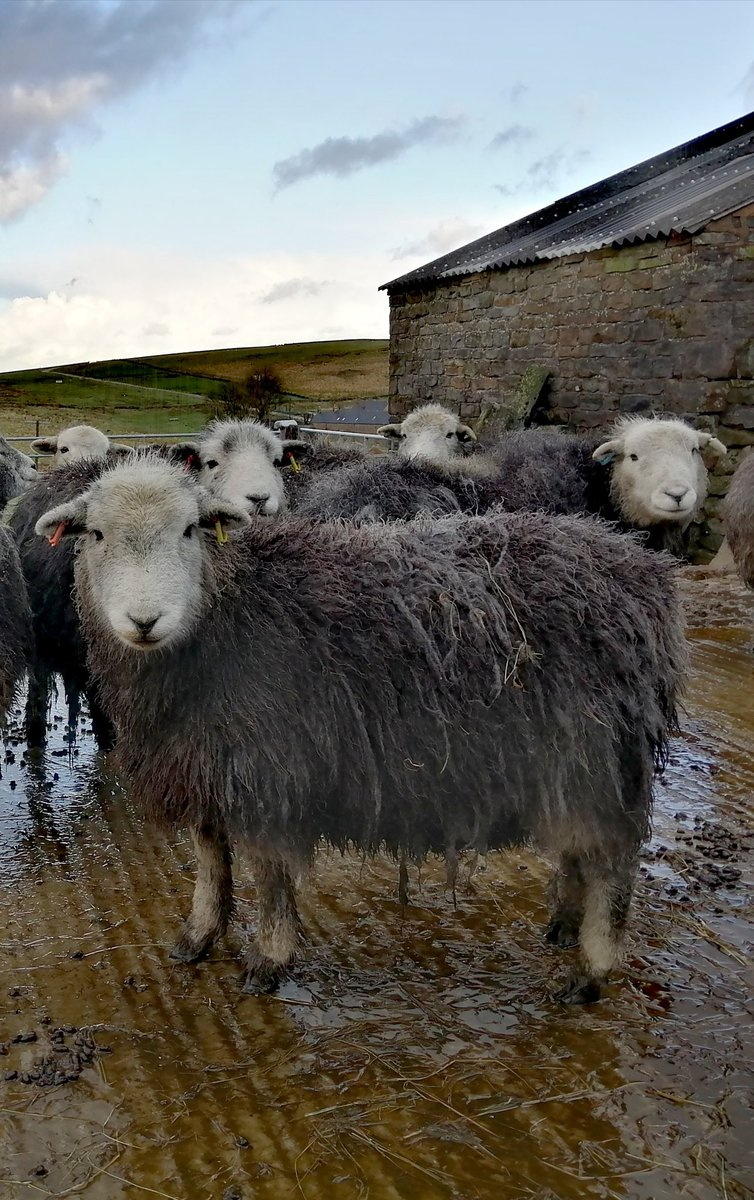 Breakfast time... #herdwick #sheep365 #farming @NFUCountryside @FarmingUK #winter #PeakDistrict