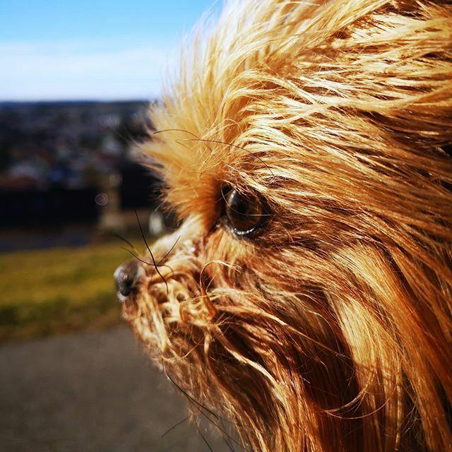 Die Stadt liegt mir zu Füßen ähm Pfoten  . . . #miro #aussicht #aussichtgenießen #stadt #buchel #herzaufvierpfoten #yorkie #yorkshire #yorkshire_terrier #petstagram #hund #dog #dogstagram #dogoftheday #yorkshireterrier #dogsofinstagram #yorkiesofins… https://ift.tt/2PfTjudpic.twitter.com/vv8TxCzH6S