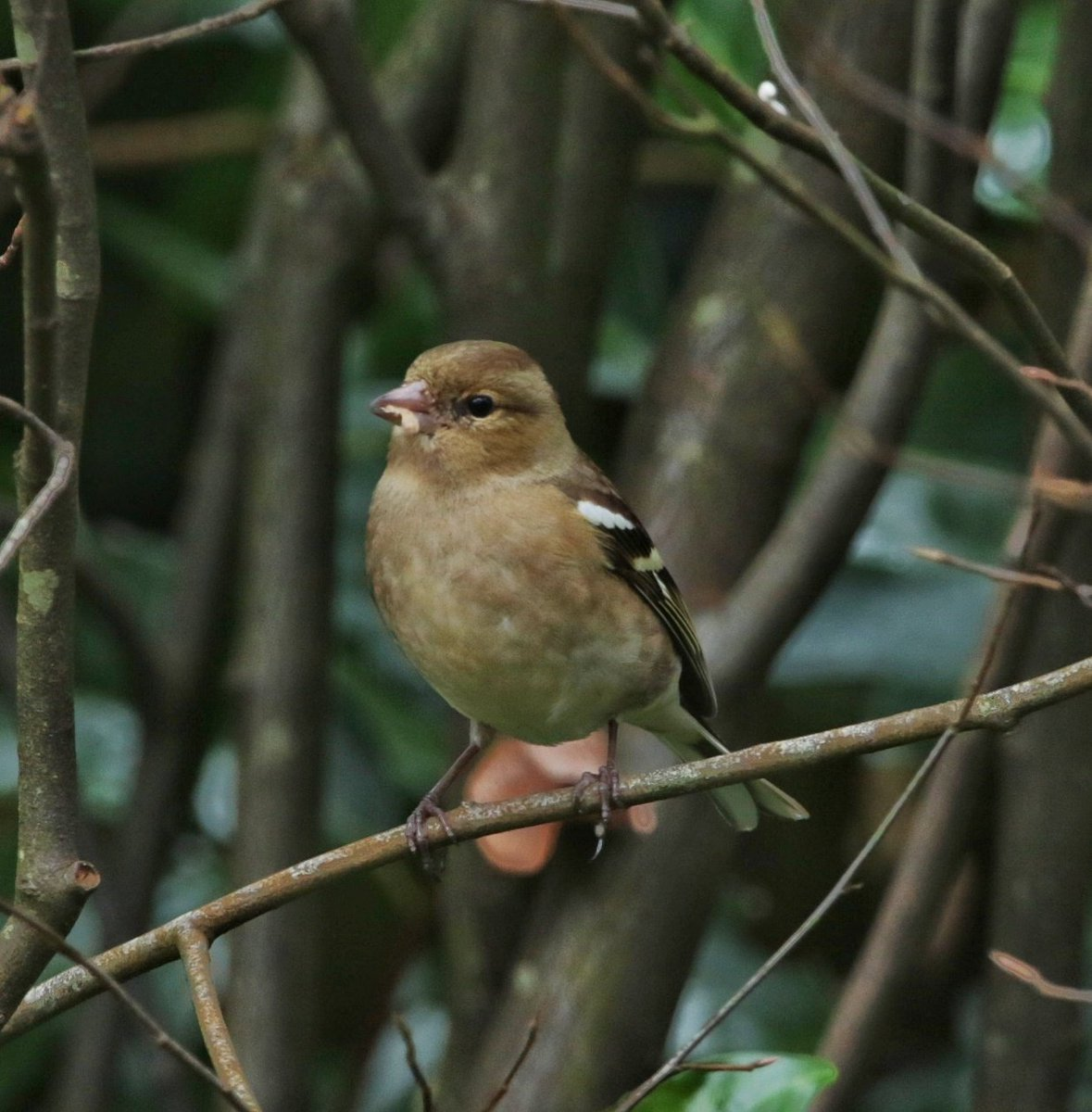 #februarivogelmaand Vink, female @vogelnieuws @Roots_NL @VroegeVogelspic.twitter.com/pwy44MvEGY