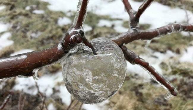 """氷が混ざった冷たい雨の影響でアメリカで""""新種""""のりんごが誕生した。その名も「ゴーストアップル」。氷の混ざった冷たい雨が古くて傷んだりんごの表面を覆うように付着し、氷の殻を形成した。その氷の殻から液状になったりんご部分がすり落ちて完成した極めて珍しい現象だそう。"""
