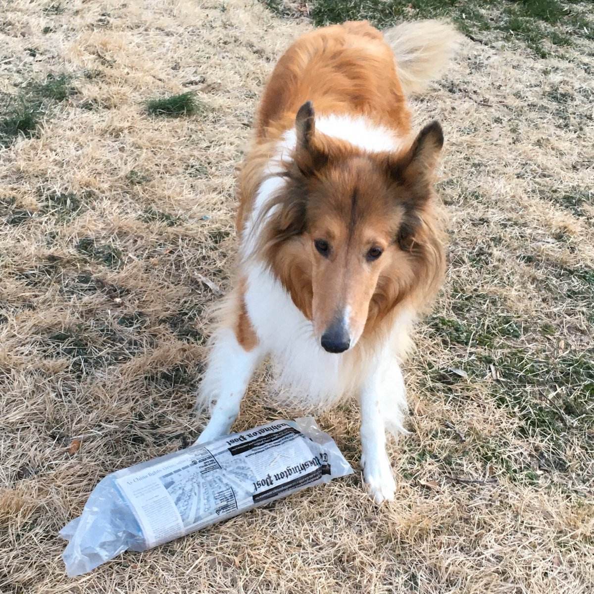 Extra! Extra! Read all about it!   Griffin the #EnglishGolden is teaching me to #fetch the  #newspaper   Shout out to our local  paper @washingtonpost   #collie #englishgoldenretriever #newspaperdelivery #washingtonpost #ExtraExtraReadAllAboutItpic.twitter.com/4UX6ZVmLU9