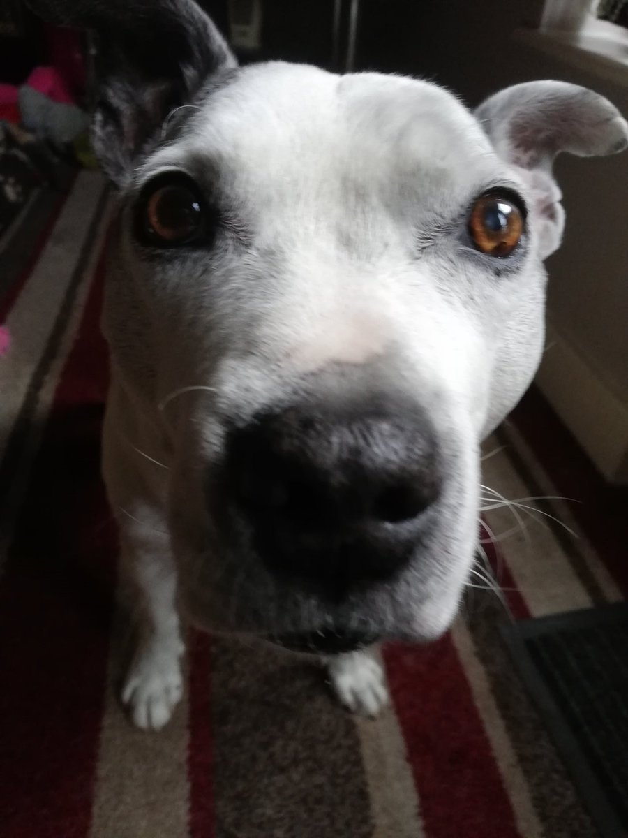 I noticed that you haven't touched your cheese sandwich for 10 seconds, are you finished with that or what. #StaffySaturday #staffy #staffie #AdoptDontShop #DogsofTwittter <br>http://pic.twitter.com/0PNOHhdO9M