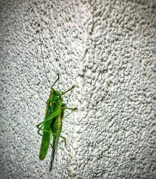 Hoppin' around. . . . . . #grasshopper #green #vibrant #animals #insect #nature #latergram #beautiful #shotoniphone #instagood #instapic #nofilter #nofilterneeded #naturalcolor #igersaustria #dailylife #pic #picture #austrian #colorful #picoftheday #clim…
