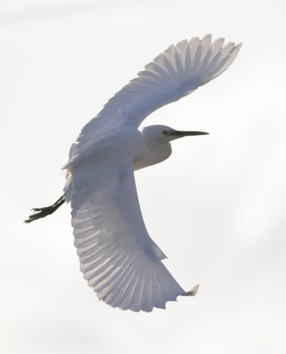 RT @KE_mi: コサギの飛翔をいろいろ https://t.co/1OsuQsknuY