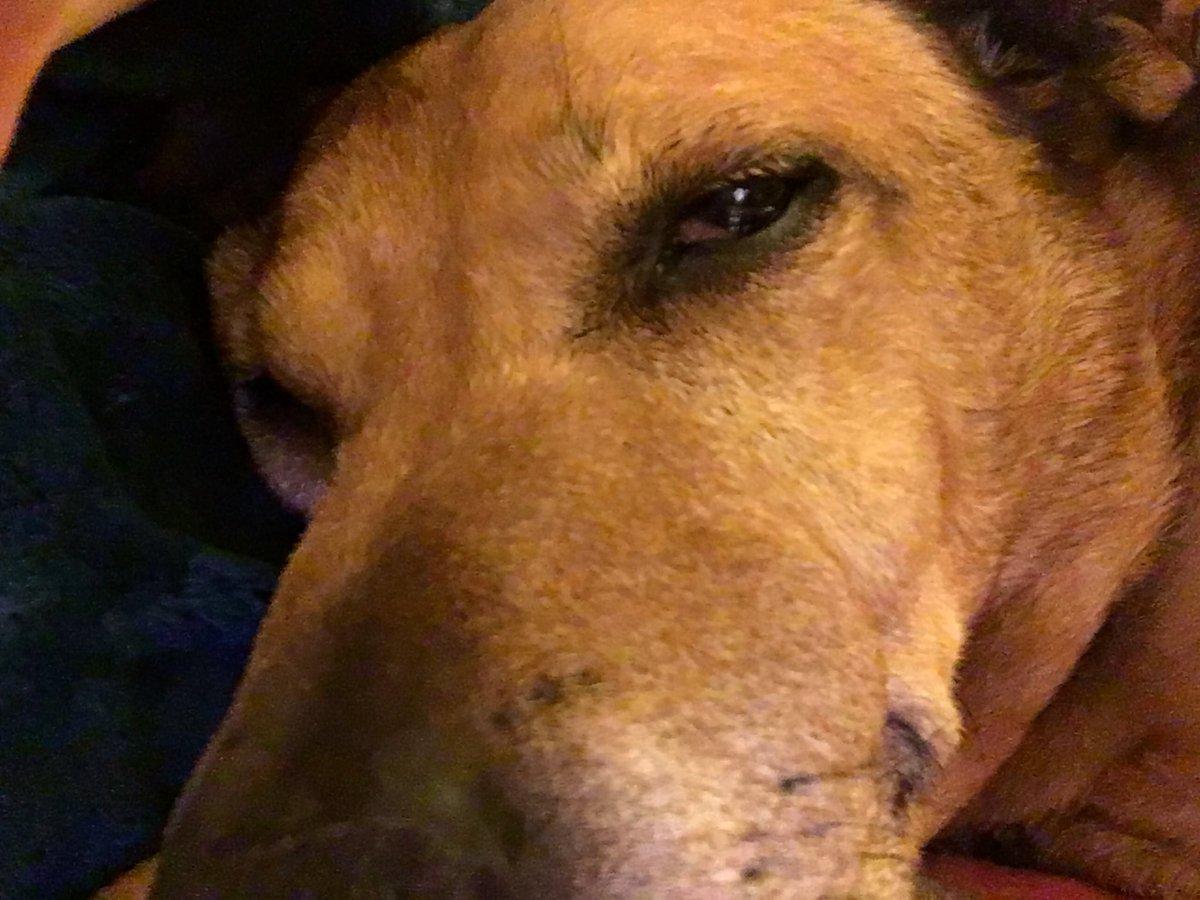 Sleepy girl Cassidy #DogsofTwittter <br>http://pic.twitter.com/p4cBtTLwzE