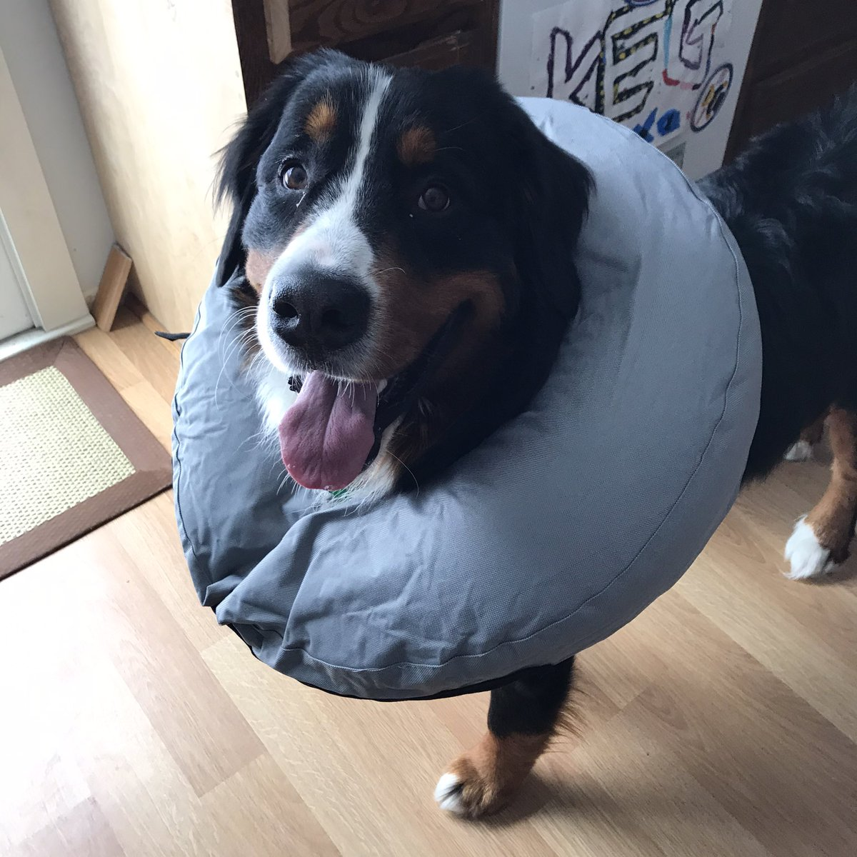My furry dude is happy now with this inflatable collar. Thanks @Petco! #bernesemountaindog pic.twitter.com/mj7sfm9PYa