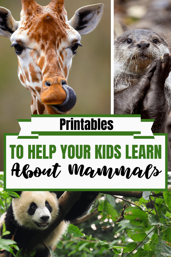 FREE Printables to Learn About Mammals http://bit.ly/2V68fPq  #freehomeschooldeals #fhdhomeschoolers #childhoodunplugged #learnathome #howwehomeschool #homeschoolmama #homeschoolcurriculum #homeschoolfun #homeschooldayspic.twitter.com/CDzEcBbcUI
