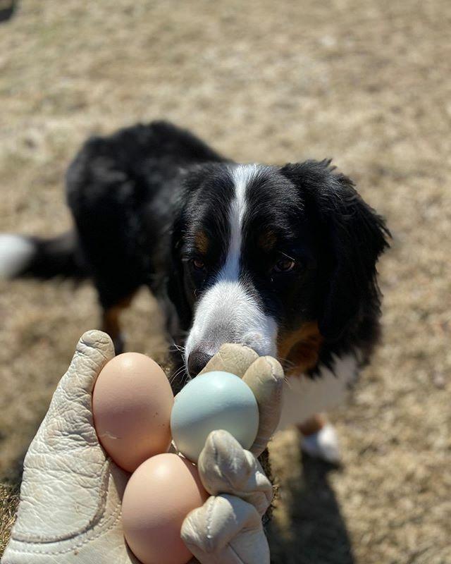 #farmlife #backyardchickens #eggs #chickens #dog #bernesemountaindog https://ift.tt/2Pjy4I2pic.twitter.com/Jd12HtCXQh