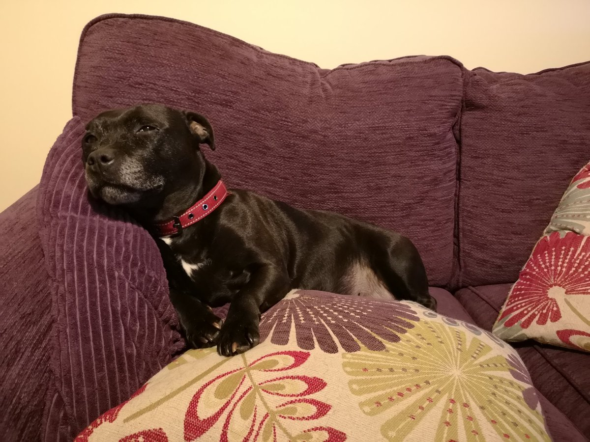 Final edition of #StaffieSaturday from Freya. She can assure everyone that she is just the right amount of #comfortable & #content  #dogsoftwitter #staffy #staffordshirebullterrier #staffylove #Relaxedpic.twitter.com/GD6oEMRilo