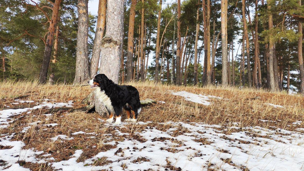 Do I fit into this snow-ground gradient?) #BerneseMountainDog #dogsoftwitter #dogs #snow #winter #NaturalBeautyProviderpic.twitter.com/XbMyGSpLkU