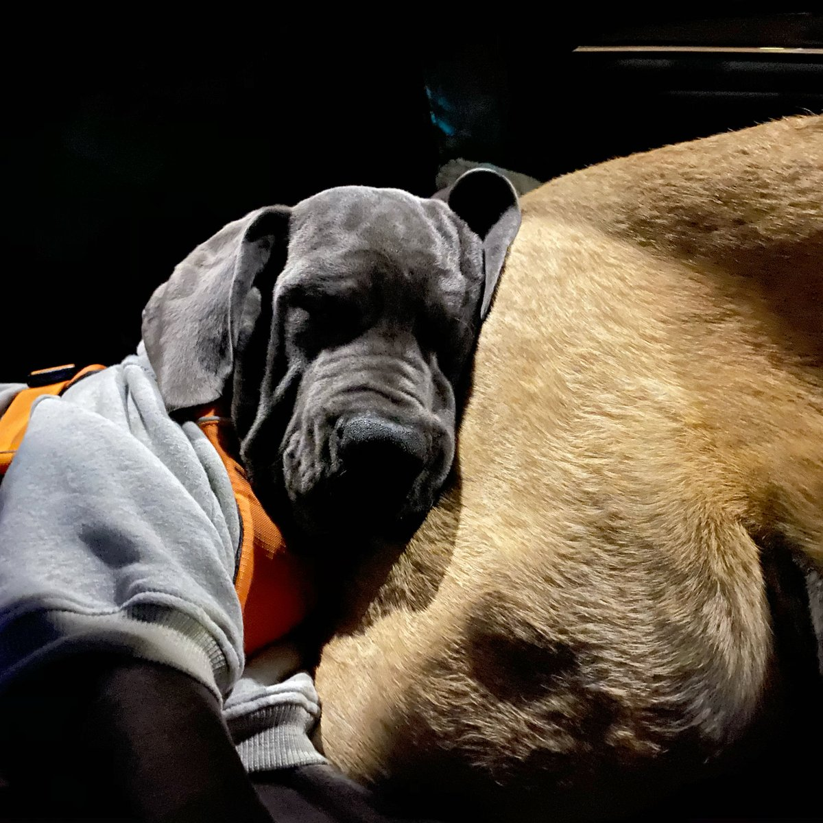 I love you Olive #sisters #puppylife #puppymoments #greatdane #mastiff #greatdanepuppy #greatdanemoments #greatdanelove #mastifflove #mastiffgram pic.twitter.com/kqz7cgsMtJ