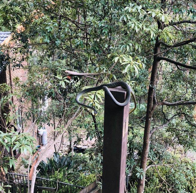 Happy birthday! Surprised this common tree snake in my yard last weekend.