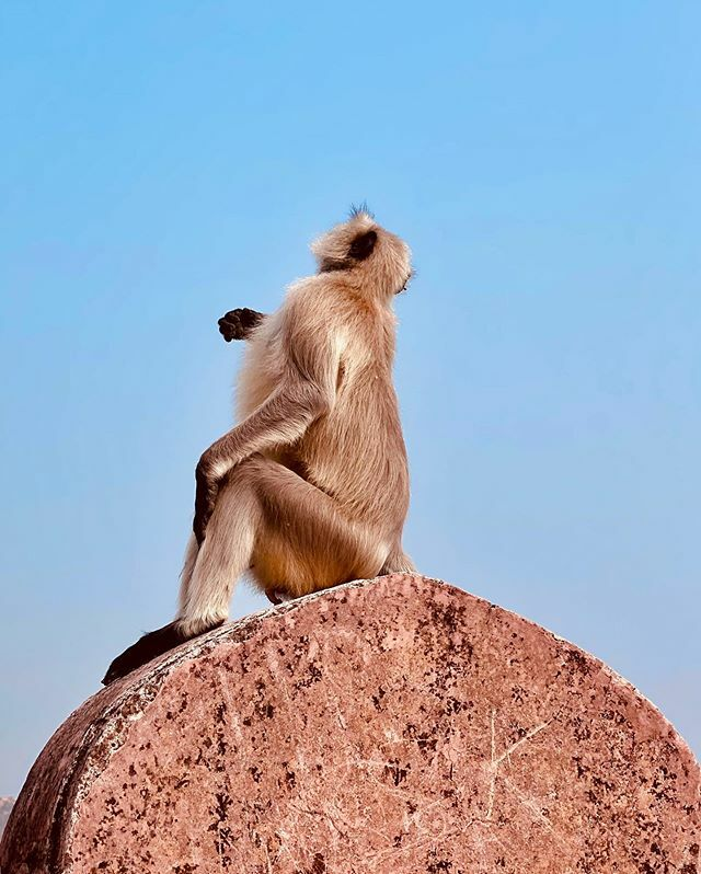 Monkeying around at Jaigarh Fort, Jaipur . . . . . . . . . #ShotOniPhone #iPhone11Pro #NiTiSHmurthy #NiTiSHxJaipur #iPhonegraphy #ITookAPicture #ITAP #iPhonePhotography #Apple http://bit.ly/2SRKf0Apic.twitter.com/htLivW5Ug1